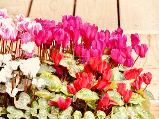 シクラメンの花の写真・画像素材[1130001]