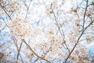 桜の写真・画像素材[1082331]