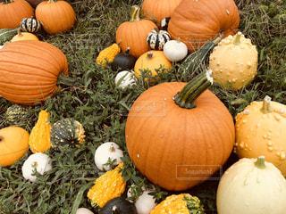 かぼちゃがゴロゴロの写真・画像素材[1506113]
