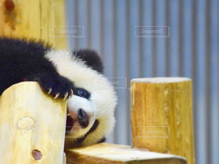 テーブルに座っているパンダの写真・画像素材[1803179]