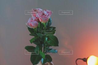 ピンクの薔薇の写真・画像素材[987035]
