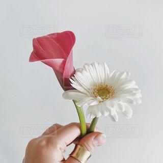 白いガーベラの写真・画像素材[3269779]