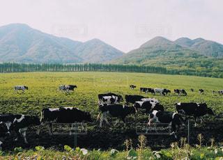 牛の写真・画像素材[522288]