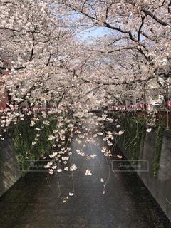 桜 - No.470898