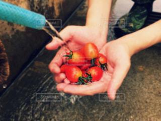 採れたてミニトマトの写真・画像素材[474663]