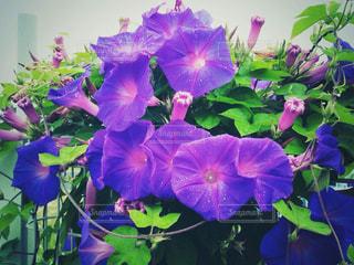 花の写真・画像素材[471424]