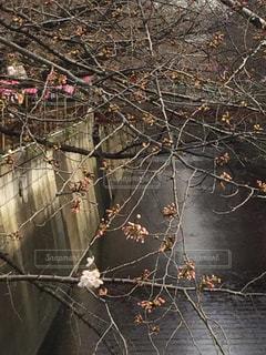 桜の写真・画像素材[473518]