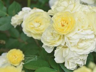 黄色のバラの写真・画像素材[552972]