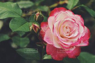 花の写真・画像素材[555407]