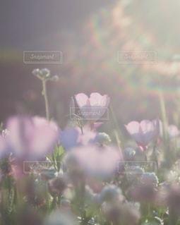 昼咲きのツキミソウの写真・画像素材[1126844]