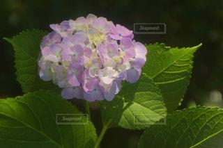 紫陽花の写真・画像素材[1244178]