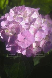紫陽花の写真・画像素材[1244179]