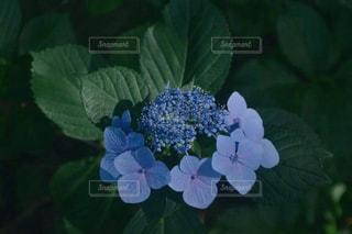紫陽花の写真・画像素材[1254535]