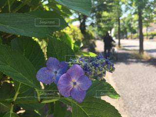 紫の写真・画像素材[557870]