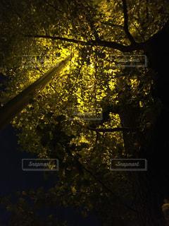 夜のイチョウの写真・画像素材[890403]