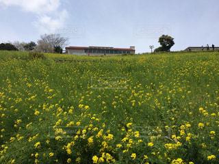 フィールドの中央に黄色の花の写真・画像素材[875608]