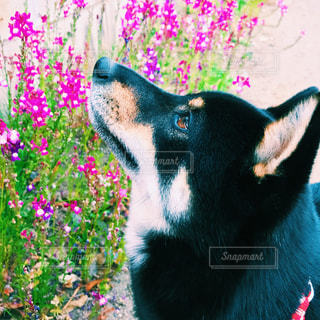犬の写真・画像素材[473823]