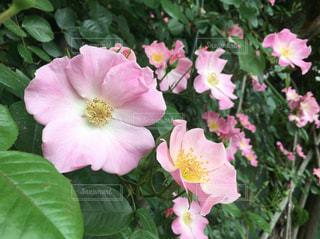 花の写真・画像素材[475452]