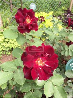 花の写真・画像素材[476062]