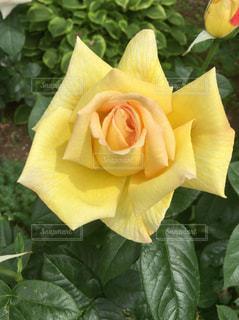 花の写真・画像素材[476065]