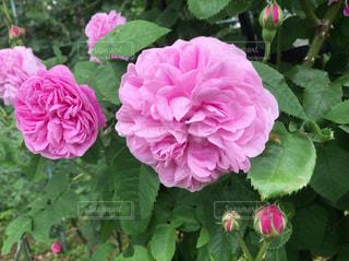 花の写真・画像素材[476067]