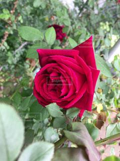 花の写真・画像素材[476068]