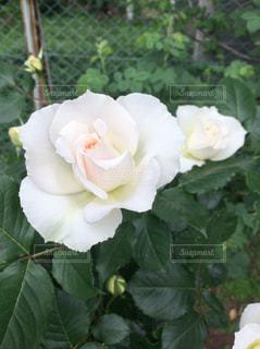 花の写真・画像素材[476071]