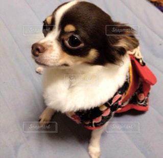 チワワ 犬の写真・画像素材[473952]