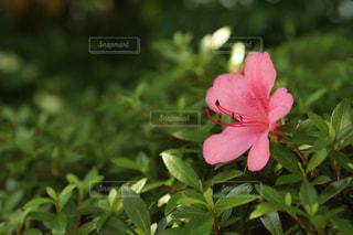 花の写真・画像素材[503271]