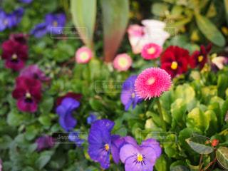 カラフル花畑の写真・画像素材[528257]