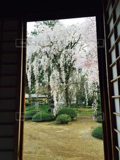 桜の写真・画像素材[476629]