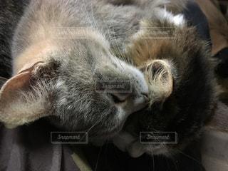 近猫のアップの写真・画像素材[1078716]