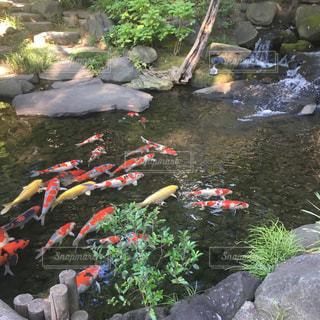 鯉たちの写真・画像素材[1452494]