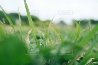 草のアップです。の写真・画像素材[1218333]