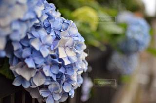 紫陽花の花のアップ - No.1226472