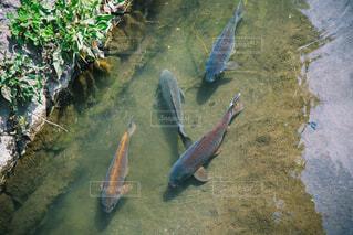 水の下で泳ぐ魚の写真・画像素材[4332074]