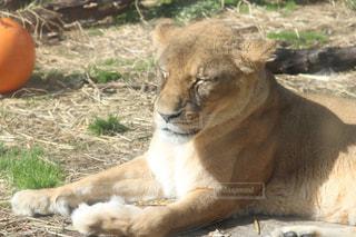 ライオン - No.991212