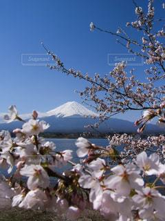 桜と富士山(河口湖)の写真・画像素材[1034216]