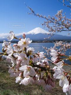 桜と富士山(河口湖)の写真・画像素材[1034217]