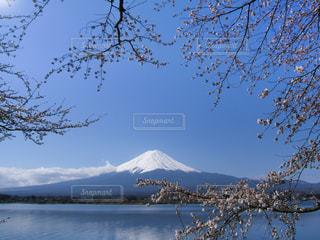 桜と富士山(河口湖)の写真・画像素材[1034218]