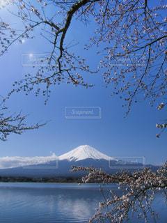桜と富士山(河口湖)の写真・画像素材[1034219]