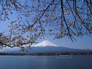 桜と富士山(河口湖)の写真・画像素材[1065213]