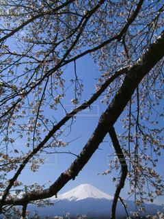 桜と富士山(河口湖)の写真・画像素材[1065215]