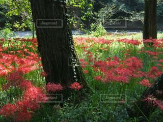 巾着田の曼珠沙華(彼岸花)と高麗川の写真・画像素材[1116793]
