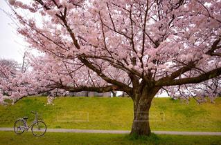 桜の写真・画像素材[509687]