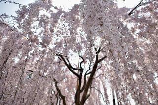 枝垂れ桜の写真・画像素材[1134208]