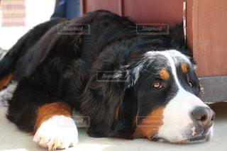 犬の写真・画像素材[511045]