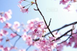 桜 - No.477731