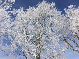 雪の木の写真・画像素材[947955]