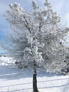 雪に覆われた木の写真・画像素材[947982]